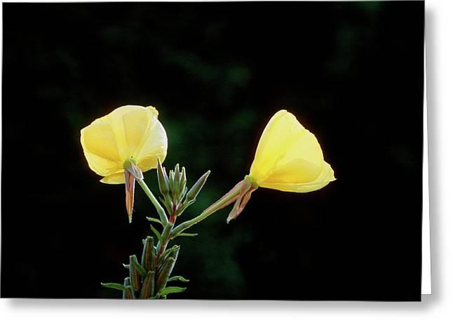 Evening Primrose (oenothera Glazioviana) Greeting Card