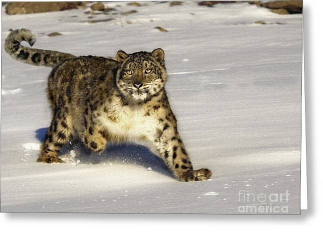 Evening Prowl Greeting Card