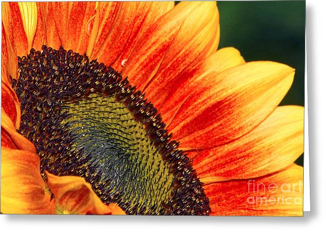Evening Sun Sunflower Greeting Card by Sharon Talson