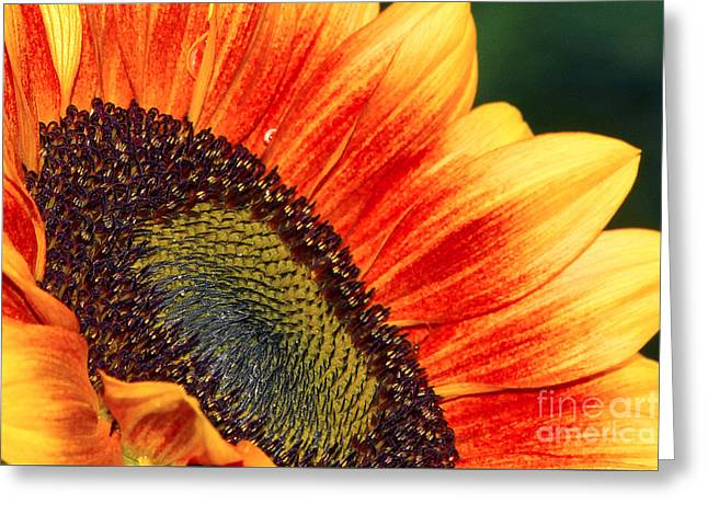 Evening Sun Sunflower Greeting Card