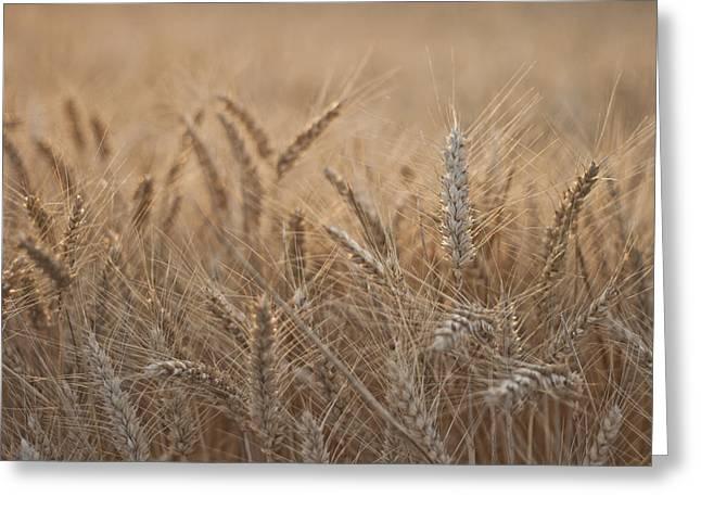 Evening Wheat Greeting Card