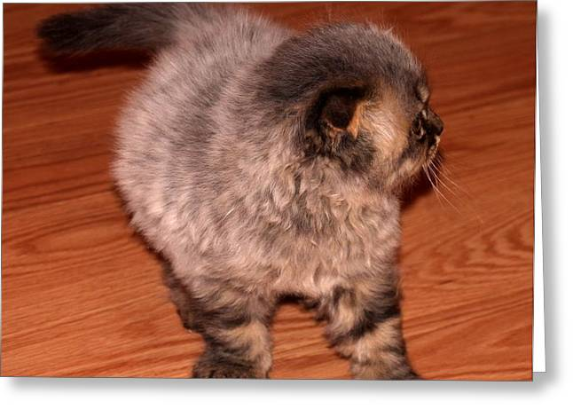 Scottish Fold Cat Greeting Cards (Page #4 of 4) | Fine Art
