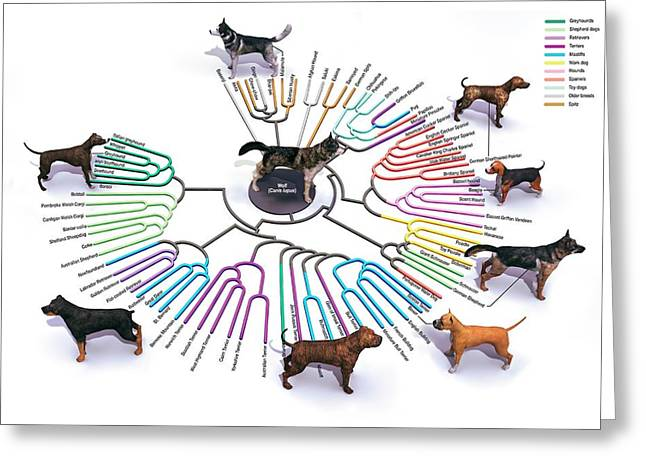 Evolution Of Dog Breeds Greeting Card by Jose Antonio Penas/science Photo Library