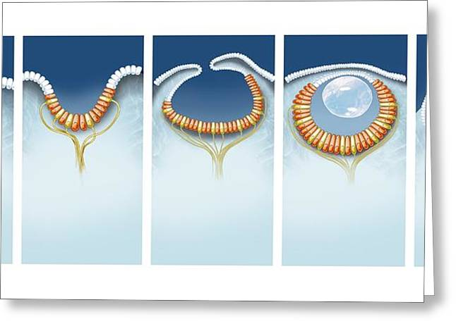 Evolution Of The Eye, Artwork Greeting Card by Science Photo Library