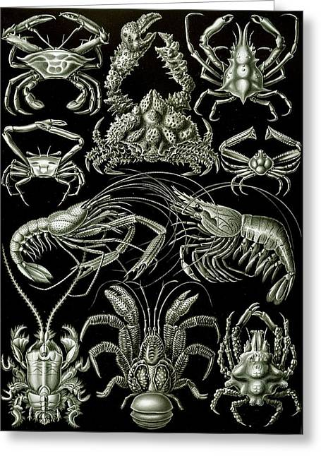 Examples Of Decapoda Kunstformen Der Natur Greeting Card by Ernst Haeckel
