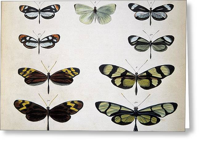 Examples Of Mimicry Among Butterflies Greeting Card