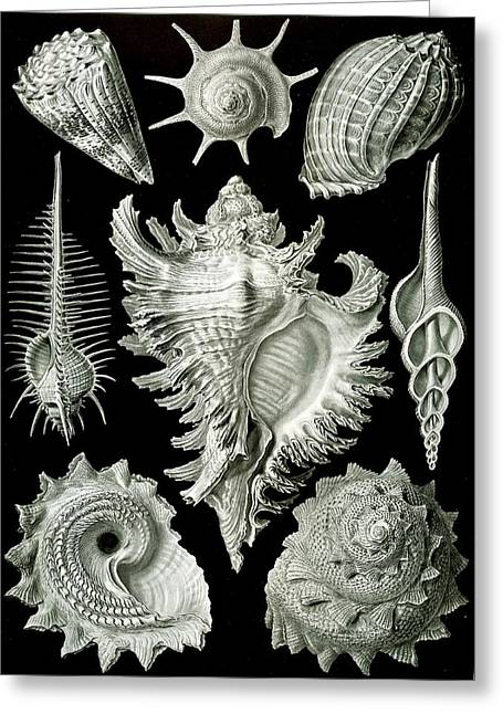 Assorted Sea Shells Greeting Card by Ernst Haeckel