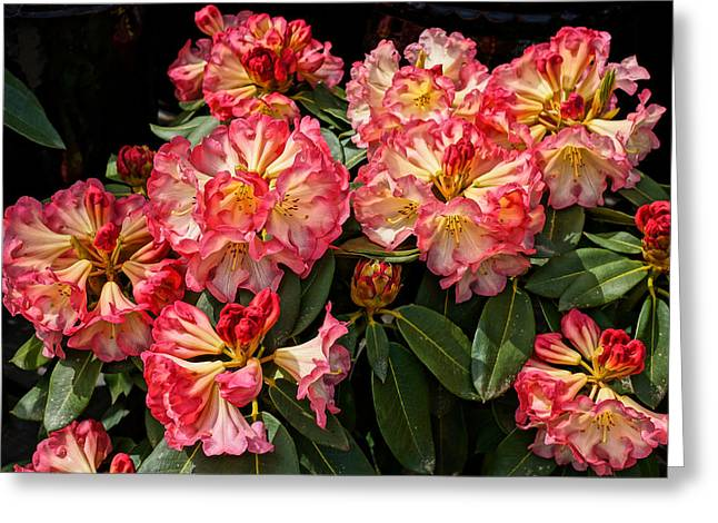 Exploding Rhodies Greeting Card