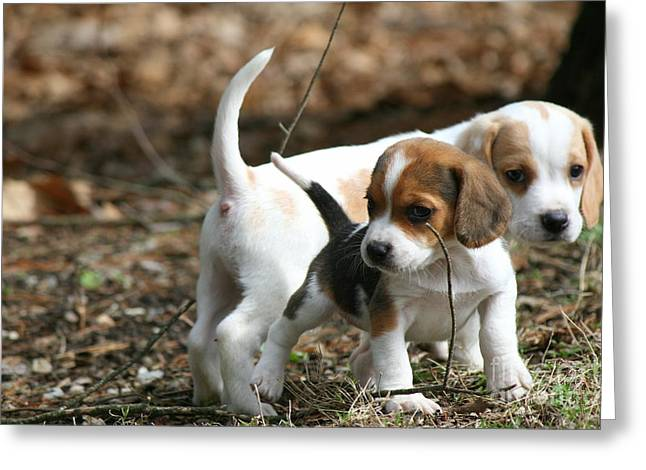 Exploring Beagle Pups Greeting Card