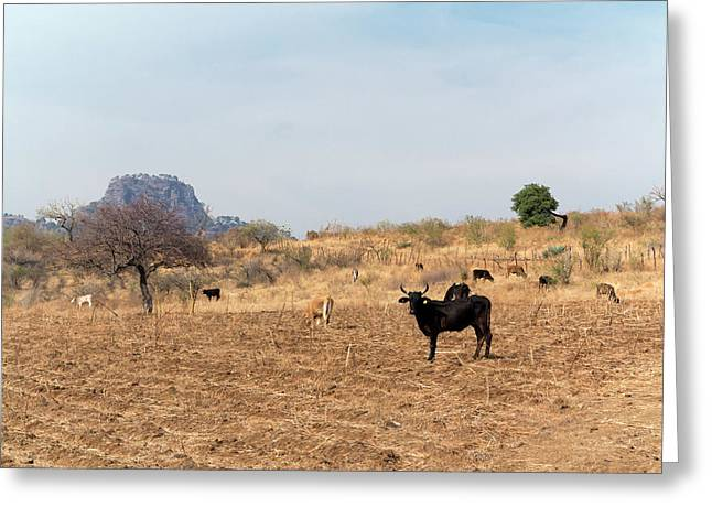 Extensive Cow Farming On Corn Field Greeting Card
