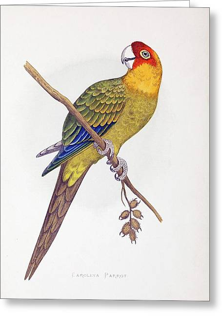 Extinct Carolina Parrot Parakeet America Greeting Card by Paul D Stewart