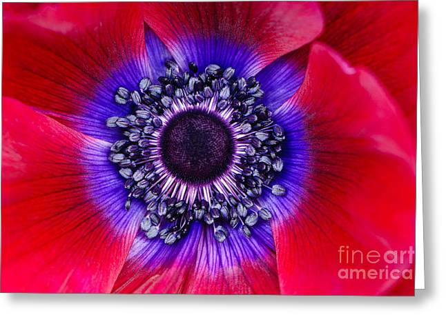 Extreme Macro Of A Red Anemone Poppy Greeting Card by Oscar Gutierrez