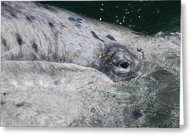 Greeting Card featuring the photograph Eye Of A Young Gray Whale by Don Schwartz