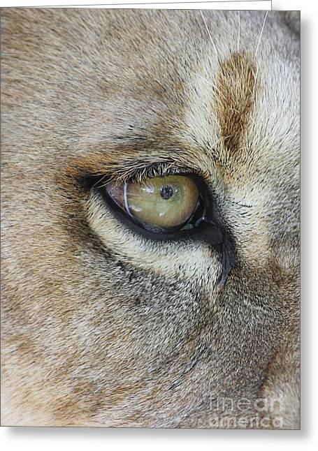 Greeting Card featuring the photograph Eye Of The Lion by Judy Whitton