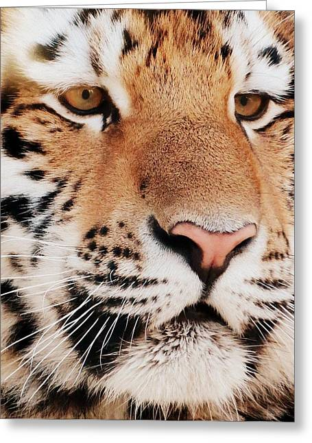 Eye Of The Tiger Greeting Card by Ramona Johnston