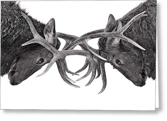 Eye To Eye - Elk Fight Greeting Card