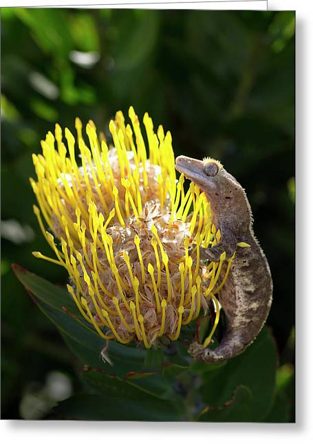 Eyelash Gecko On Proteus Flower, Cal Greeting Card by Rob Sheppard