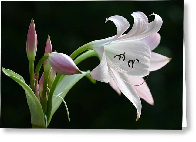 Eyelash Lily Greeting Card