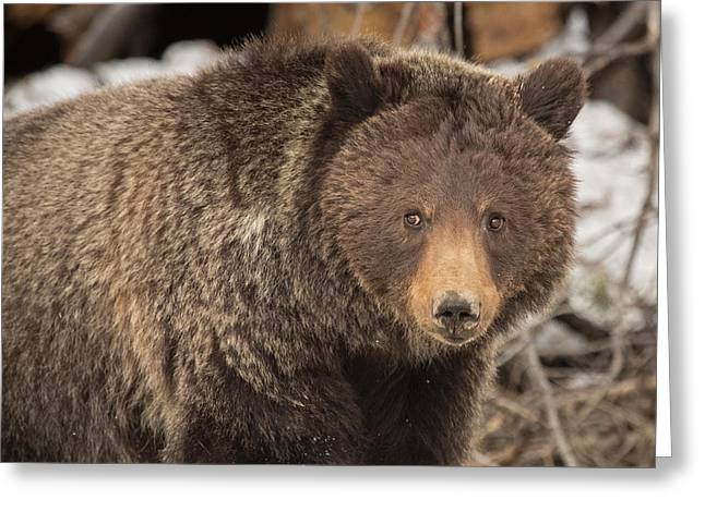 Eyes Of The Grizzly Greeting Card by Sandy Sisti