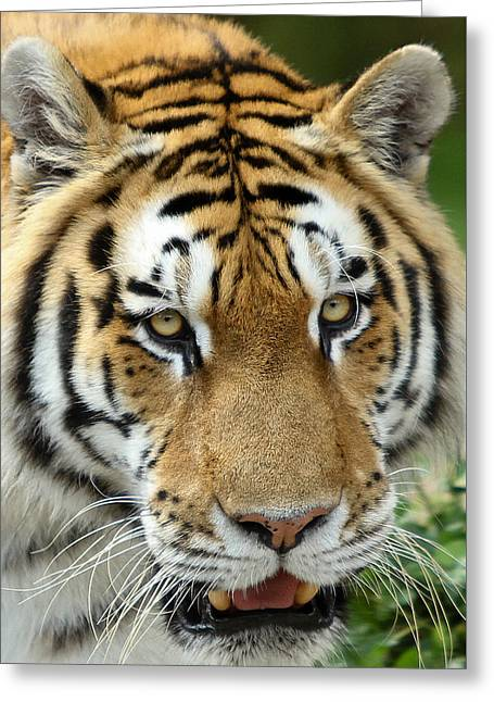 Greeting Card featuring the photograph Eyes Of The Tiger by John Haldane