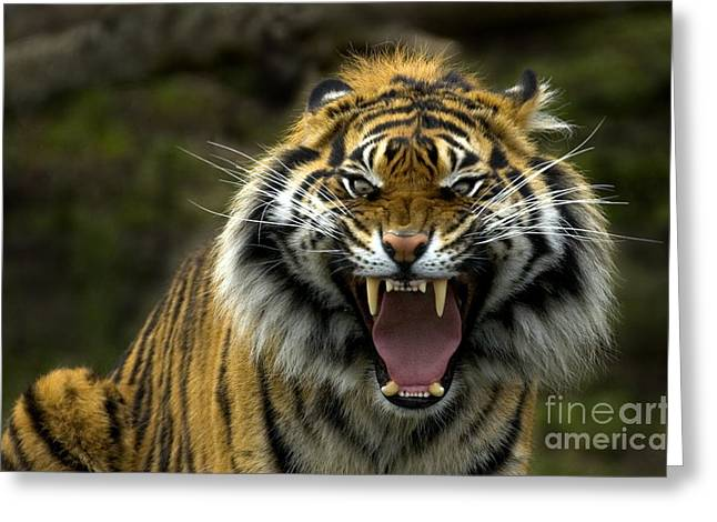 Eyes Of The Tiger Greeting Card by Mike  Dawson