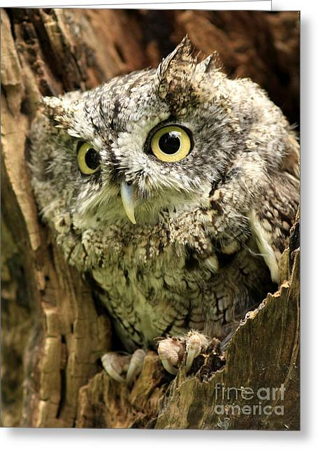 Eyes Of Wisdom Eastern Screech Owl In Hollow Tree Greeting Card by Inspired Nature Photography Fine Art Photography