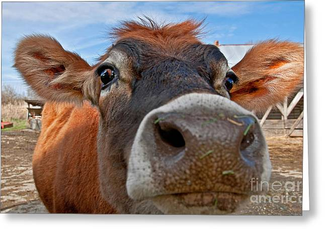 Face Of Young Jersey Cow Heifer Greeting Card