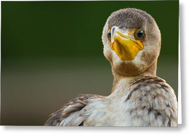 Facing The Great Cormorant Greeting Card by Andres Leon