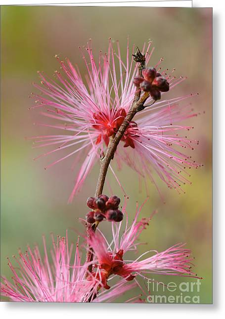 Fairy Duster Greeting Card
