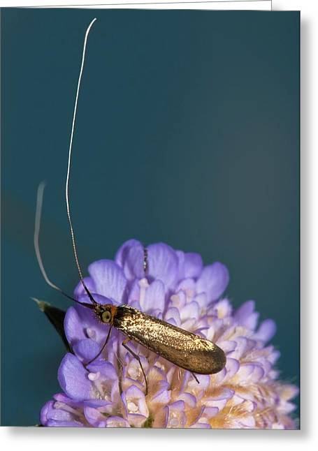 Fairy Longhorn Moth On A Flower Greeting Card
