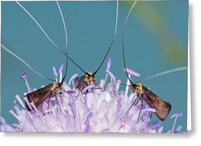Fairy Longhorn Moths On A Flower Greeting Card