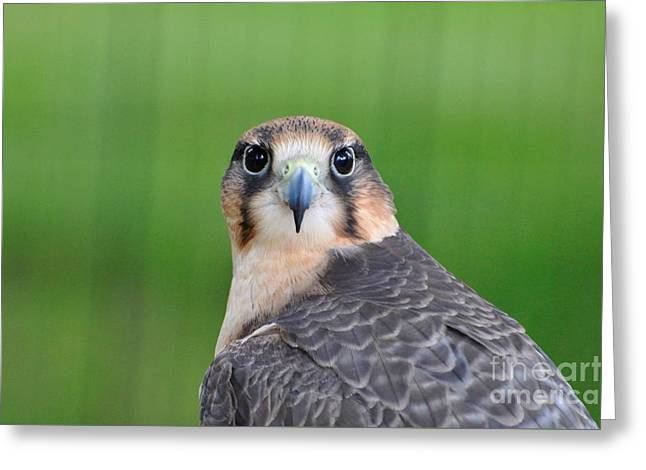 Falcon Greeting Card by Suzanne Handel