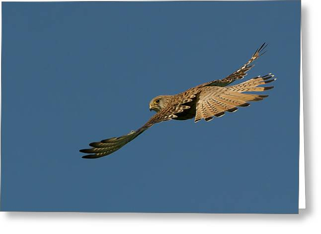 Falcon Greeting Card by Torbjorn Swenelius