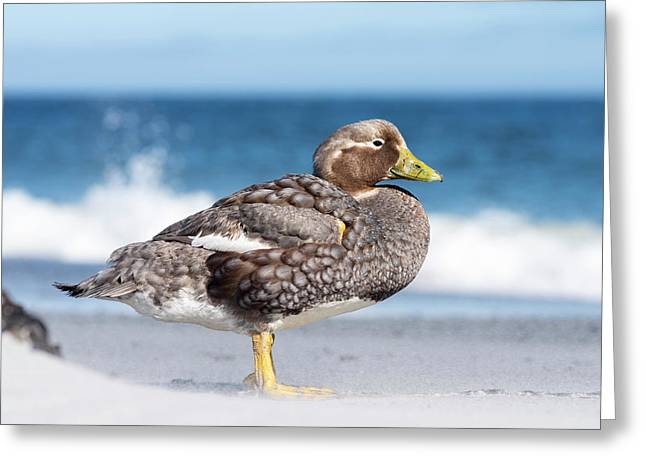 Falkland Flightless Steamer Duck Greeting Card