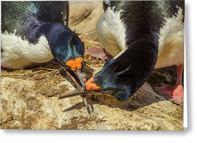Falkland Islands, Carcass Island Greeting Card