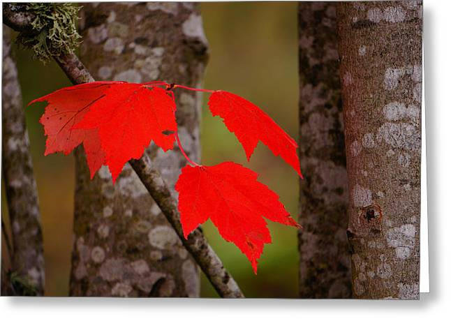 Fall Aflame Greeting Card by Ronda Broatch