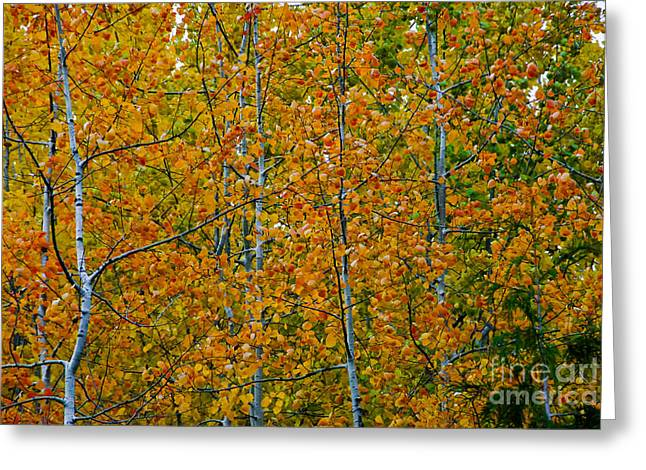 Fall Aspen Greeting Card