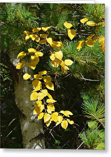 Greeting Card featuring the photograph Fall Birch by Judy  Johnson