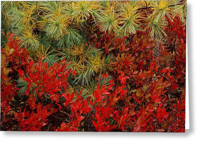 Fall Blueberries And Pine-h Greeting Card