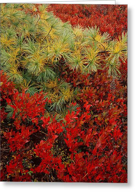 Fall Blueberries And Pine Greeting Card