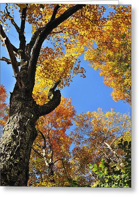 Fall Color Sugar Maple Greeting Card by Thomas R Fletcher