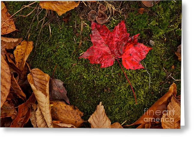 Fall Maple Leaves Greeting Card