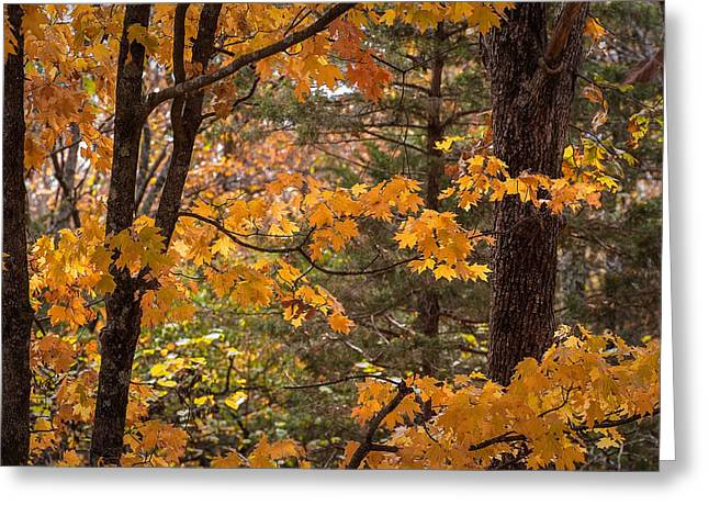 Greeting Card featuring the photograph Fall Maples - 01 by Wayne Meyer