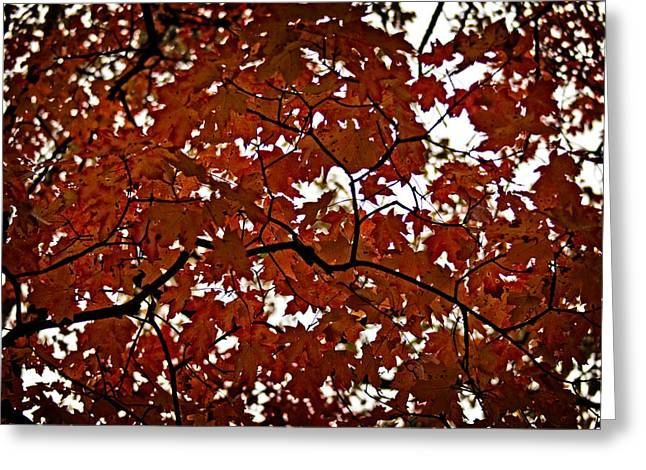 Greeting Card featuring the photograph Fall Maples - 04 by Wayne Meyer