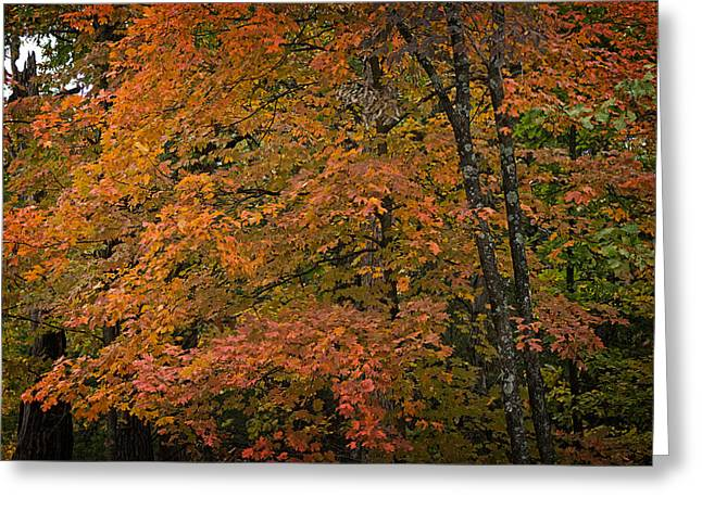 Greeting Card featuring the photograph Fall Maples - 05 by Wayne Meyer