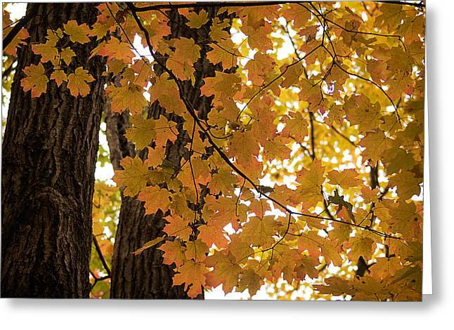 Greeting Card featuring the photograph Fall Maples - 06 by Wayne Meyer