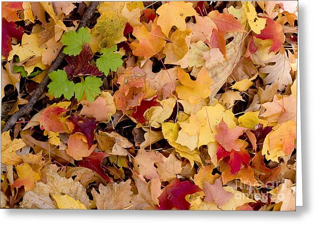 Fall Maples Greeting Card by Steven Ralser