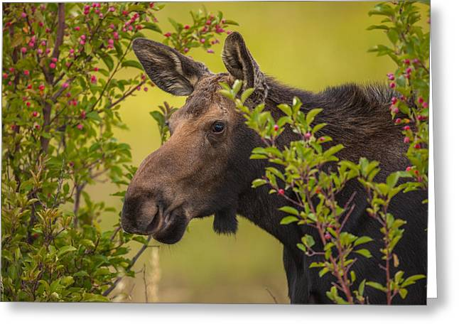 Fall Moose Greeting Card