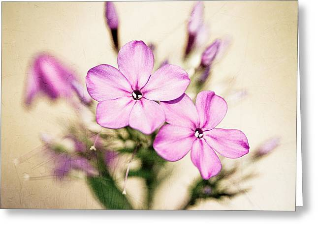 Fall Phlox Greeting Card