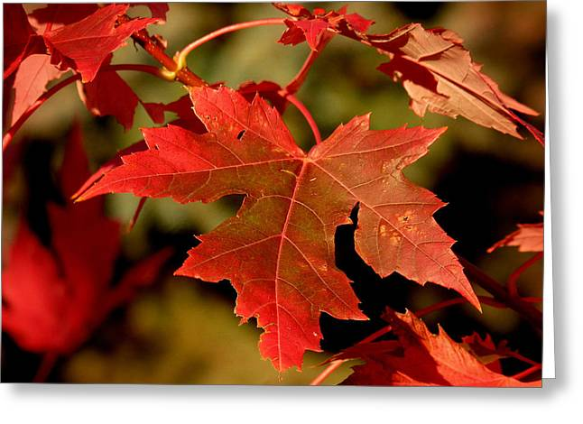 Fall Red Beauty Greeting Card
